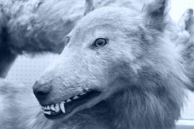 Werewolves and Japanese mythology | Anime Amino - photo#37
