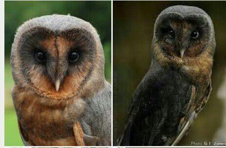 a black barn owl harry potter amino