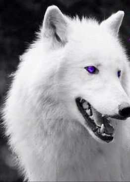 White Wolf With Purple Eyes Wallflowers_Fading (sc...