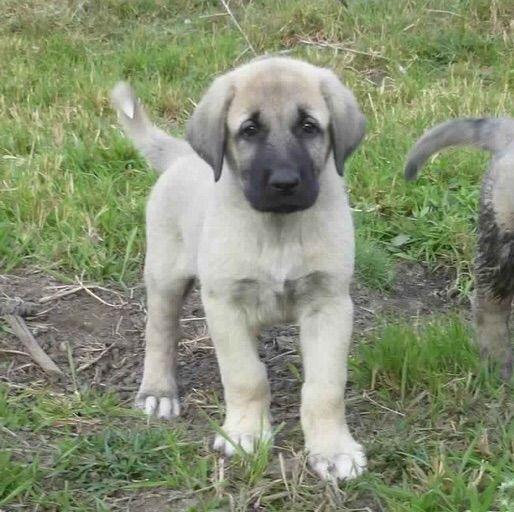 Anatolian shepherd | Pets Amino