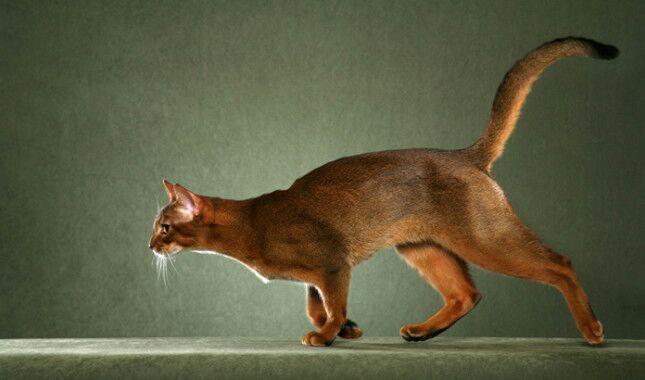 Abyssinian cat ear tufts