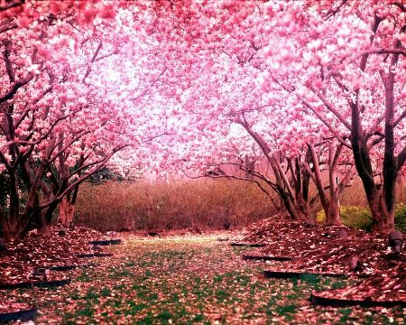 sakura trees the meaning in anime  anime amino, Natural flower