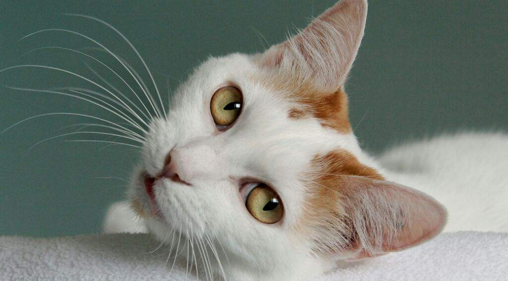 the head structure of the japanese bobtail is like that of no other breed the head is in fact an equilateral triangle not including the ears