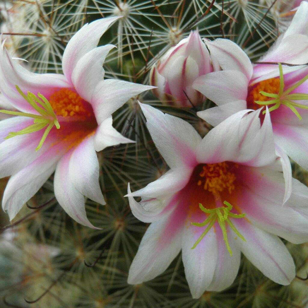 Flores de cactus k pop amino - Flores mas bonitas ...