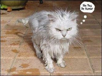 Bañar A Un Gato   Como Banar El Gatos Gatoslovers Amino