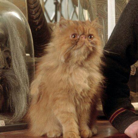 Hermione Granger Cat Breed