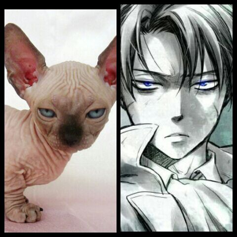 Levi reincarnated as a hairless cat! XD   Attack On Titan Amino