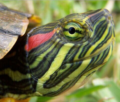Red Eared Sliders Wiki Reptiles Amino