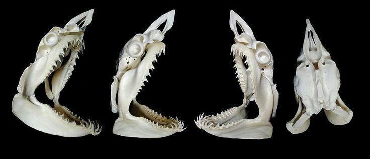 Shark skull anatomy