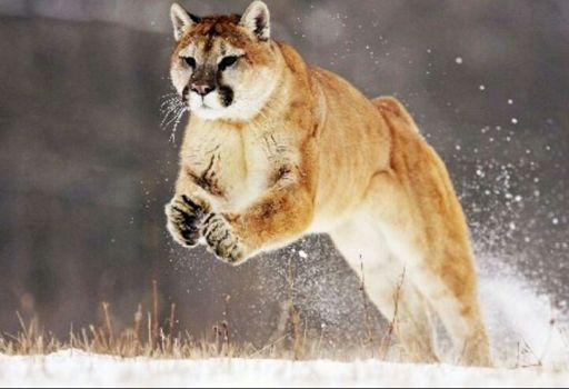 bas prix f5a86 399e4 Puma | Wiki | Mundo Animal Amino