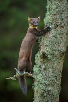 Animal Facts 7 The Pine Marten Furry Amino