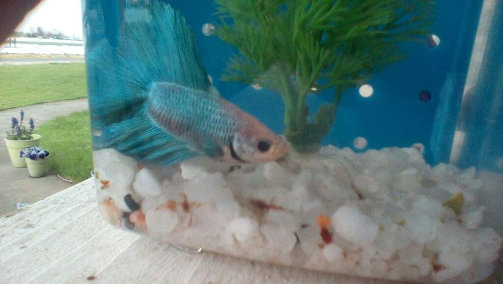 Fish that looks like a mermaid