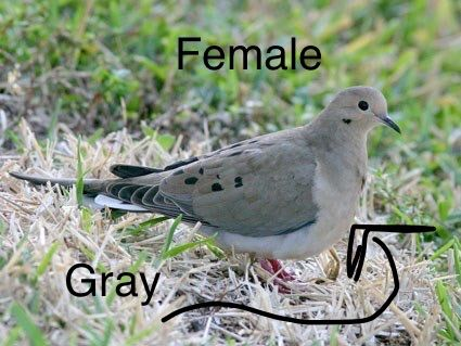 How to Tell the Gender of a Mourning Dove | Bird Watching ...