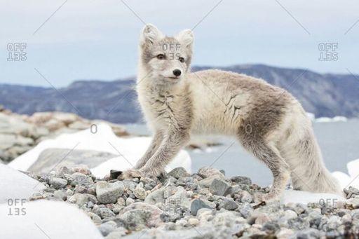 Sapphire | Wiki | Spirit Animals Aminos Amino