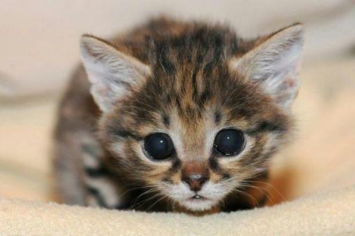 gato bravo de patas negras wiki pets em geral amino