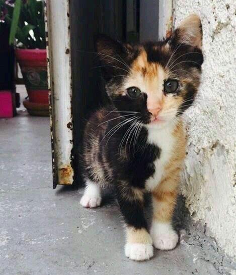 Calico Cat Vs Jimin