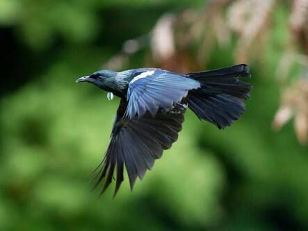 The Tui bird - messenger of the Gods and Goddesses   Wiki   Pagans