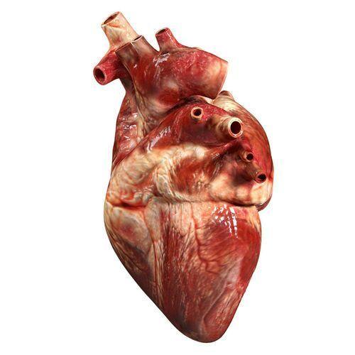Human Body Blog #1: Circulatory system part 1: The Heart | Science Amino