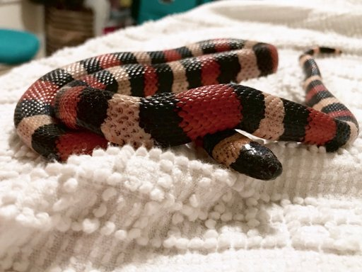 Soy the Milk Snake | Wiki | Herps and Reptiles Amino