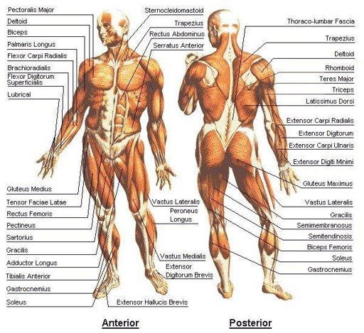 Pressure Points/Muscle Destruction | Wiki | Martial Arts Amino Amino