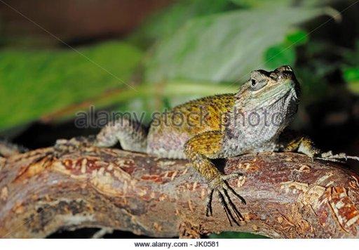 Emerald Swift Lizard Care Guide   Wiki   Reptiles Amino