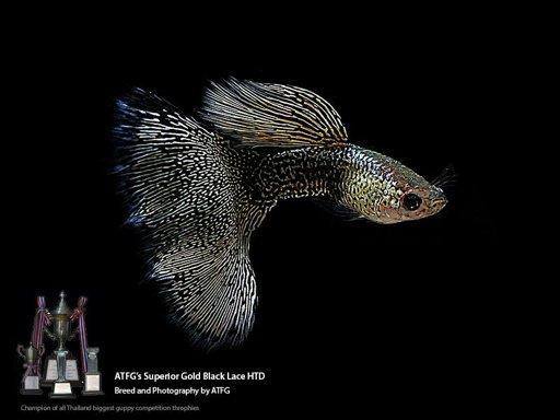 Improving Color In Aquarium Fish Biggest Factors Wiki