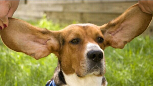 Порода собак бассет-хаунд: фото, описание характер   338x598