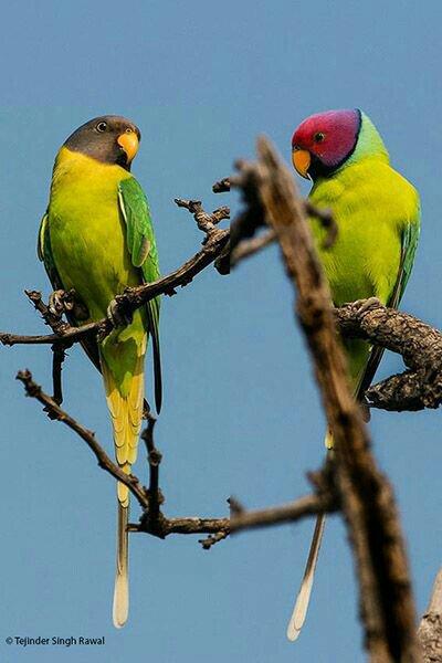 Plum Headed Parakeets | Wiki | Birds Amino Amino