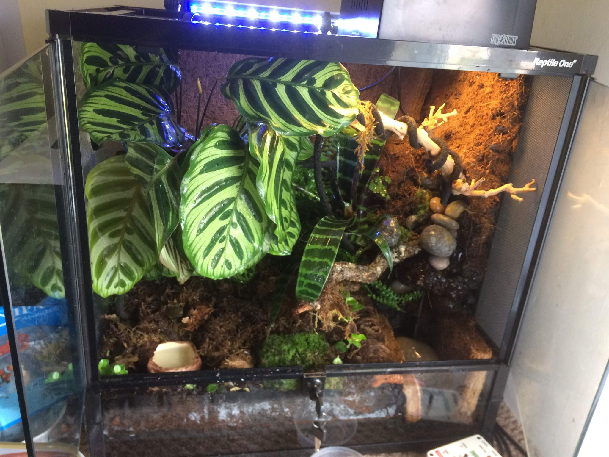 Planted Red Eyed Tree Frog Vivarium Reptiles Amino