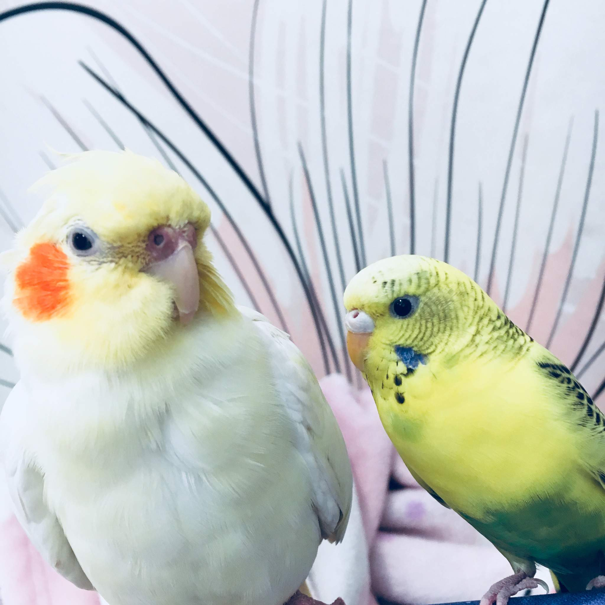 Housing cockatiels and budgies together | Birds Amino Amino