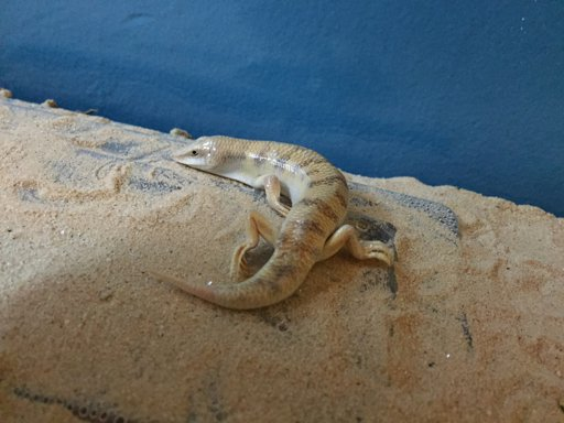 Sandfish Skink Wiki Reptiles Amino