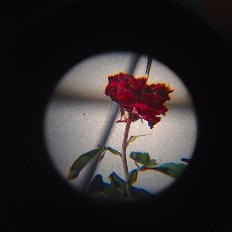 a rose poem about love