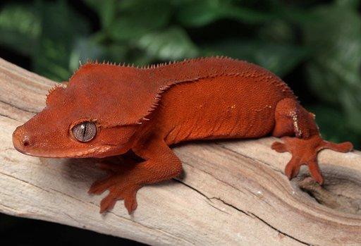 Aries | Wiki | Reptiles Amino