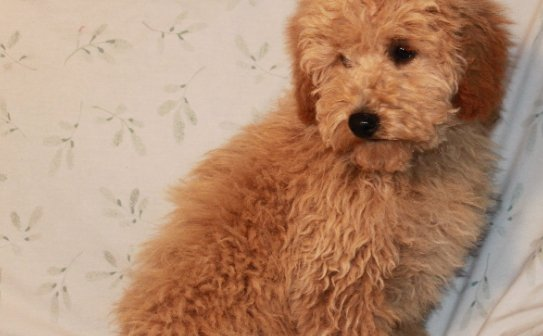 Best Answer How To Puppy Cut A Poodle Sweetpuppies Amino