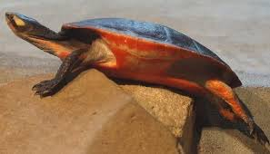 Pink Bellied Side-Neck Turtle Care | Wiki | Reptiles Amino