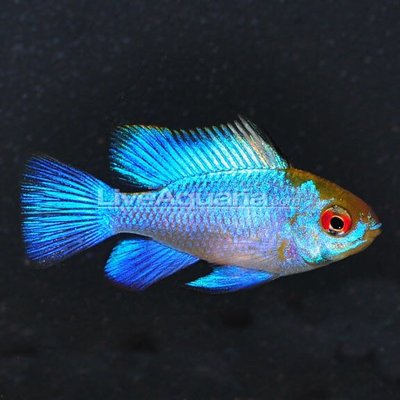 German Blue Ram Wiki Fishkeepers Amino Amino