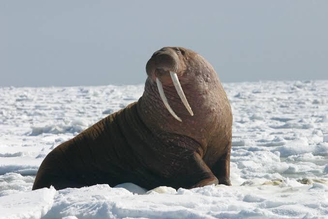 Creature Idea Great Walrus Ark Survival Evolved Amino Ark daeodon taming and breeding! creature idea great walrus ark survival evolved amino