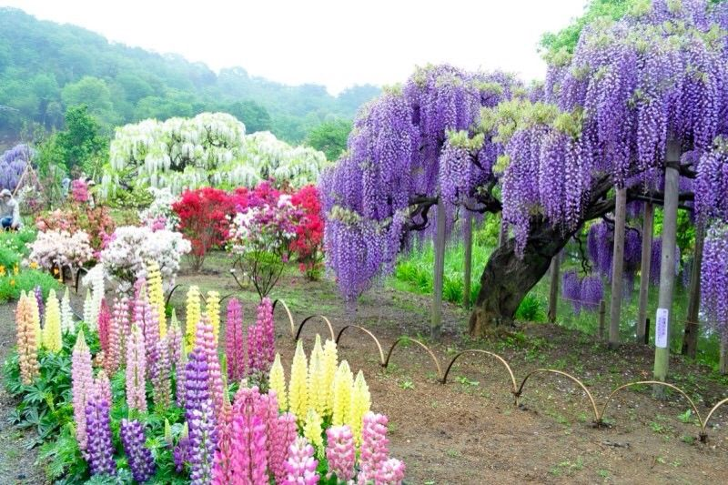 Wisteria flower tunnel in japan anime amino Wisteria flower tunnel path in japan
