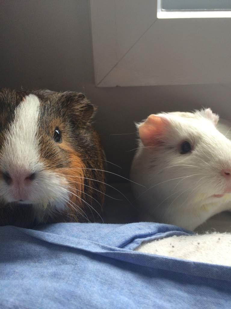 Guinea Pigs 101: Why You Must Buy Two   Pets Amino