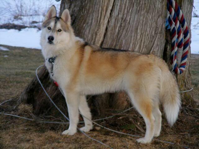 Siberian Husky | Pets Amino
