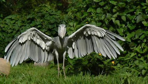 Up close with a Shoebill! - YouTube