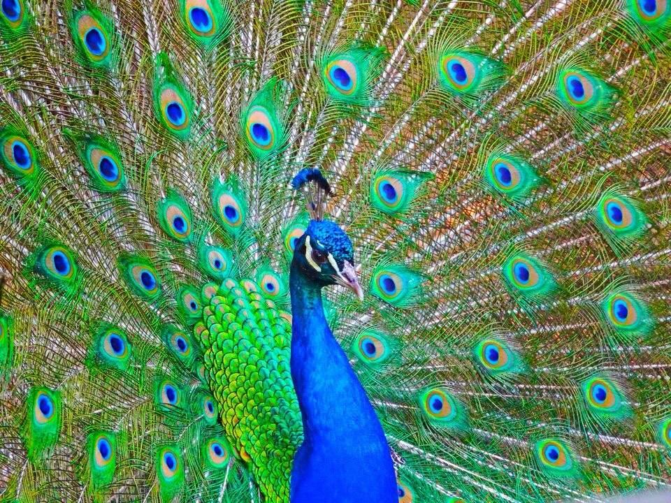 Natural Selection And Peacocks