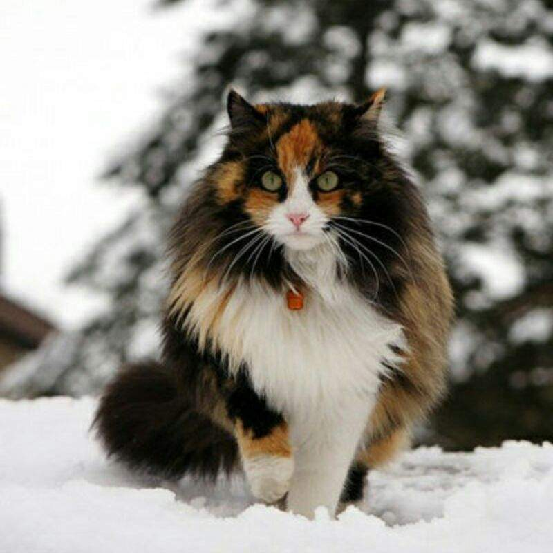 is calico a breed cats amino