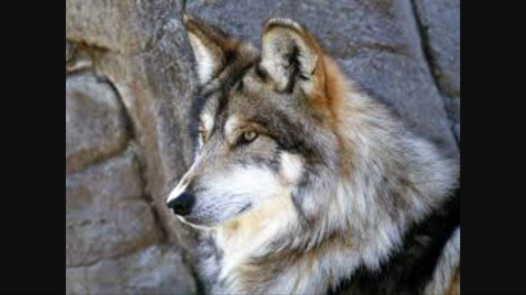 10 Facts About Mexican Wolves