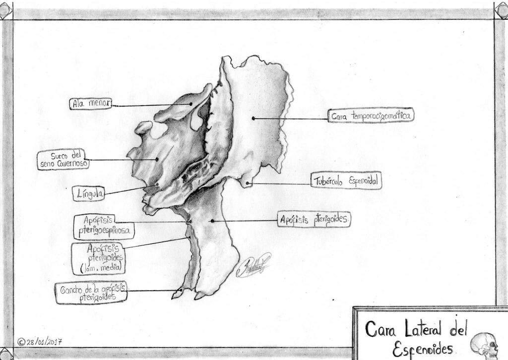 Dibujo del Esfenoides Terminado :\