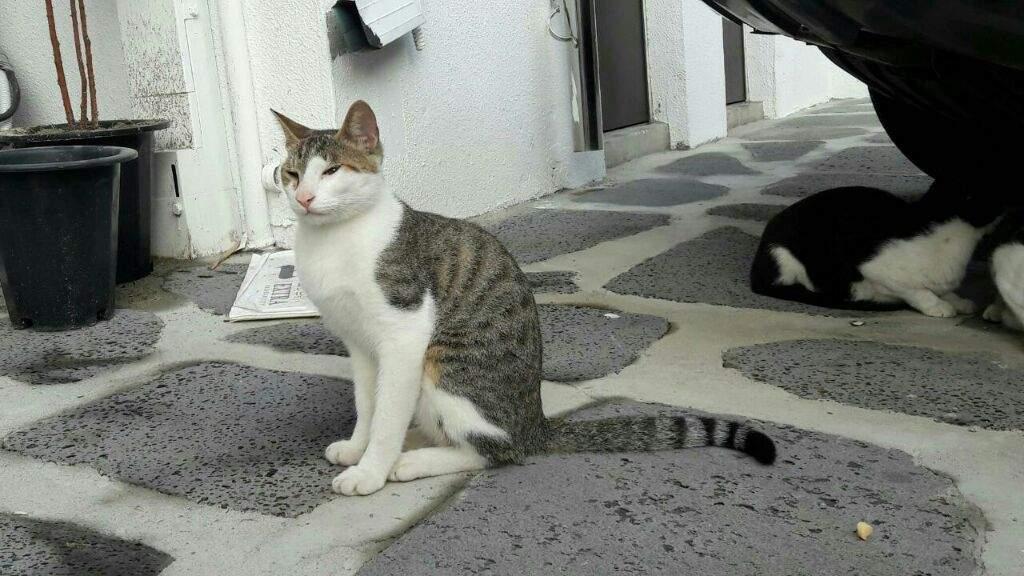 The Korean Short Hair Cat Warriors Amino