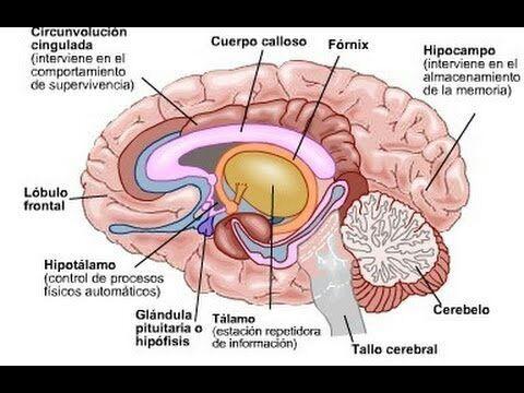 💡💡💡El Cerebro Humano💡💡💡 | ·Death Note· Amino