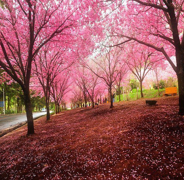 Sakura cerezo anime amino - Cesped japones fotos ...