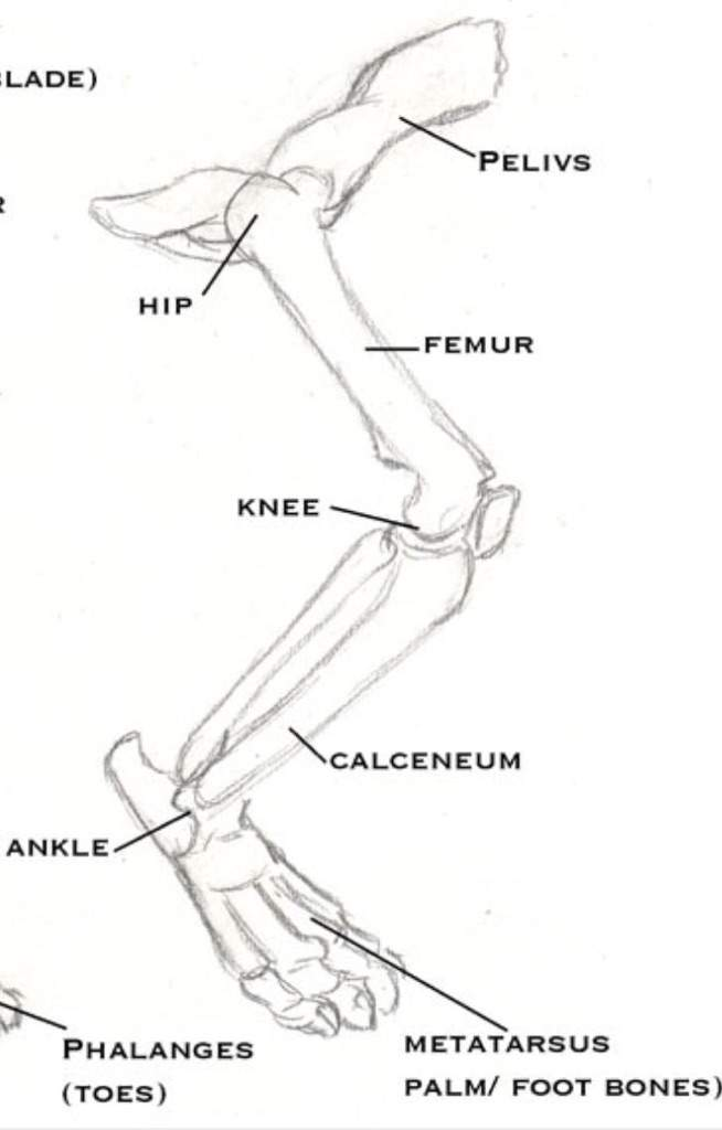 Cat hind leg bone anatomy / Cinderpelt\'s accident | Warriors Amino