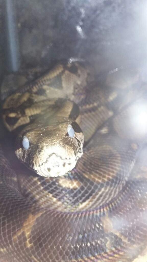 Hello! | Snake Amino Amino